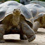 tortoise_galapagos_0